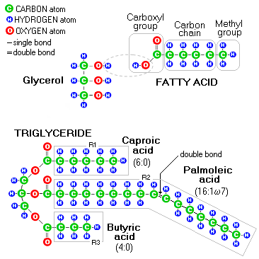 Structure Of Triacylglycerol Triglycerides  the most commonTriglycerides Structure