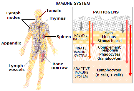 The Immune System Non Specific Defense Barriers Fmechanisms The Second Line Of Defense additionally Skin Mucus Saliva in addition First Line Of Defence additionally Engulfed By Endocytosis furthermore How Does The Body Defend Itself Against Disease. on first line of defense immune system skin